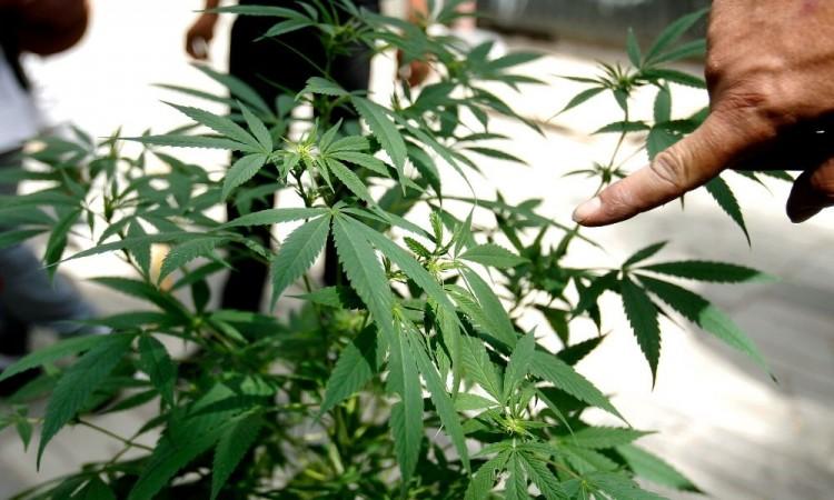 Empresarios piden al gobierno federal aprovechar el cannabis con el T-MEC