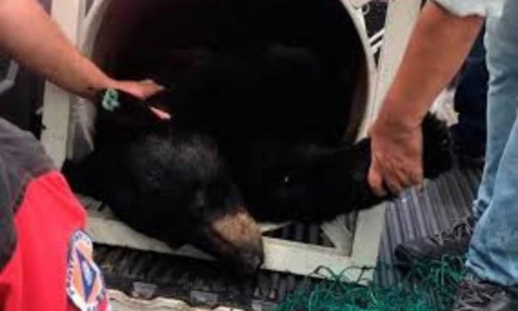 Castran y liberarán a oso negro de Chipinque en Sierra del Nido, en Chihuahua
