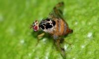 ¿Un mal de hace 30 años? Agricultura activa dispositivo en Chiapas para erradicar a mosca del Mediterráneo