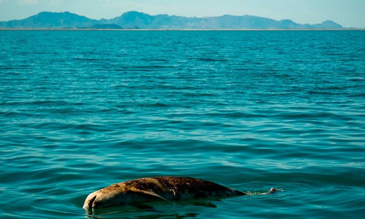 Reanuda Sea Shepherd trabajos para salvar la Vaquita Marina