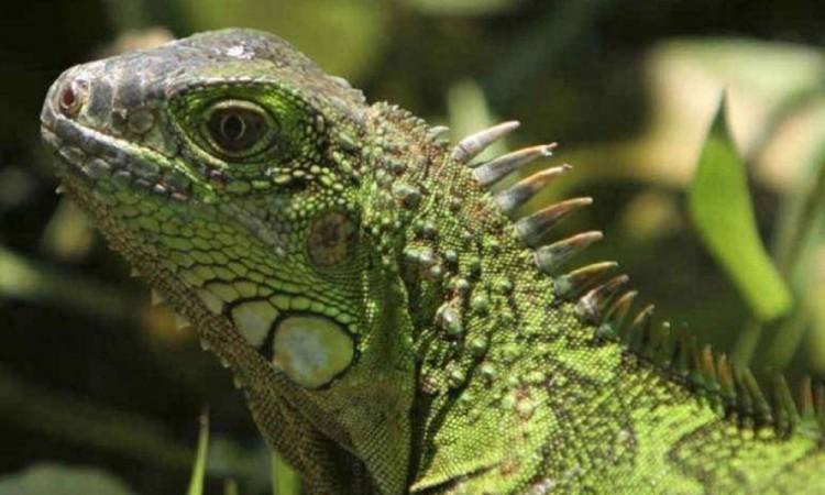 Roban iguanas en Foro Ecológico de Juchitán; especies en peligro de extinción