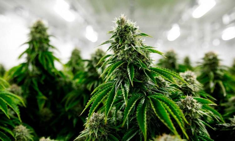 México aplicará impuesto especial a la marihuana si se aprueba su uso lúdico