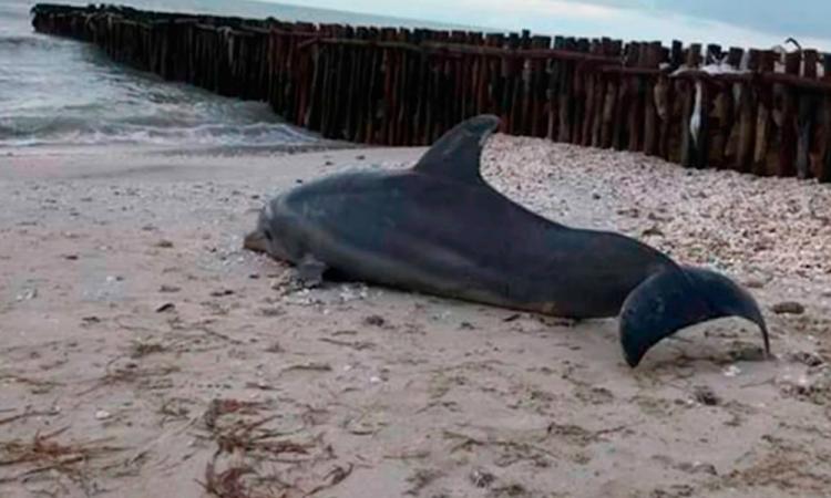 Encuentran cuerpo sin vida de delfín en Yucatán