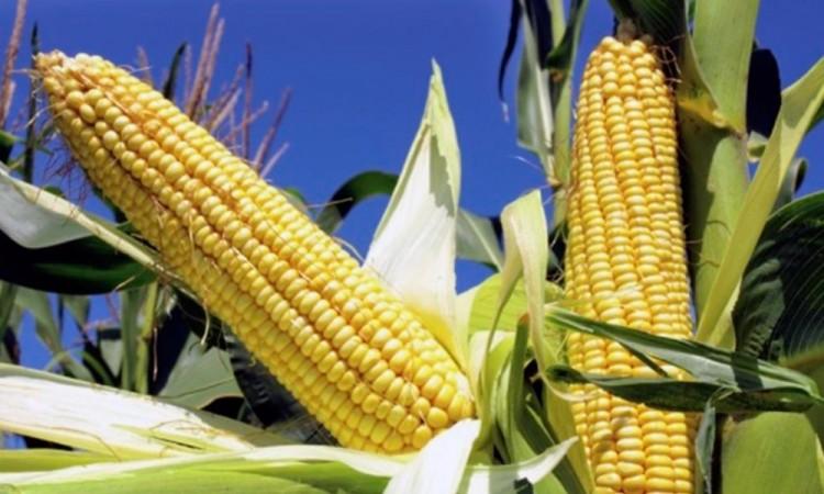 Prohibieron el maíz transgénico en México: para 2024 ya no habrá importaciones