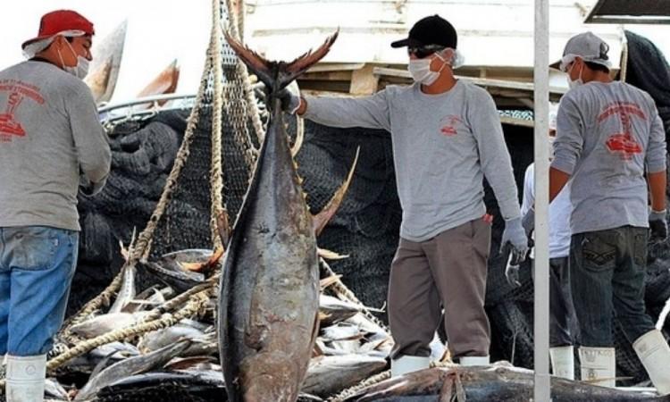 Según registros, la pesca de atún se ubica en el tercer lugar de producción nacional.