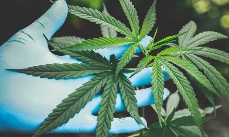 Cámara de Diputados aplaza... otra vez la discusión del consumo de la marihuana