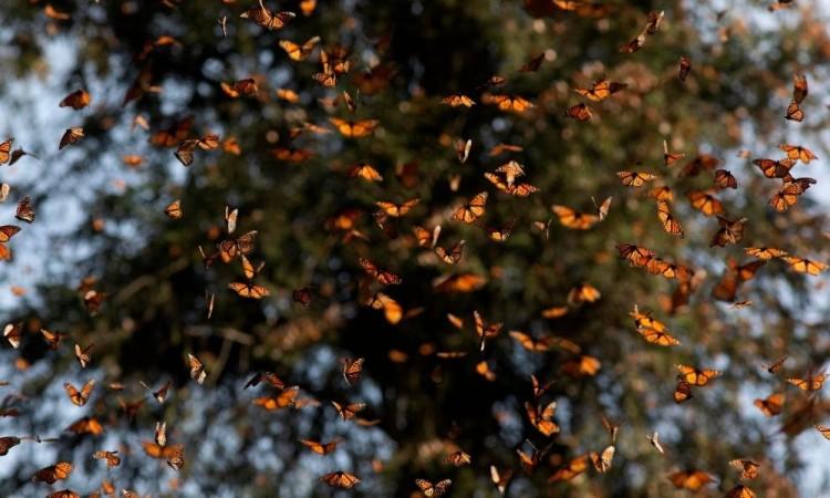 México no fue un buen anfitrión: Mariposas monarca vuelven a Canadá