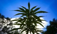 La industria espera la inminente legalización del cannabis en México en abril