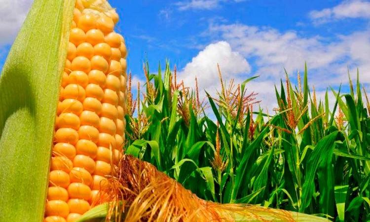 Firman convenio para impulsar desarrollo de maíz y trigo en México