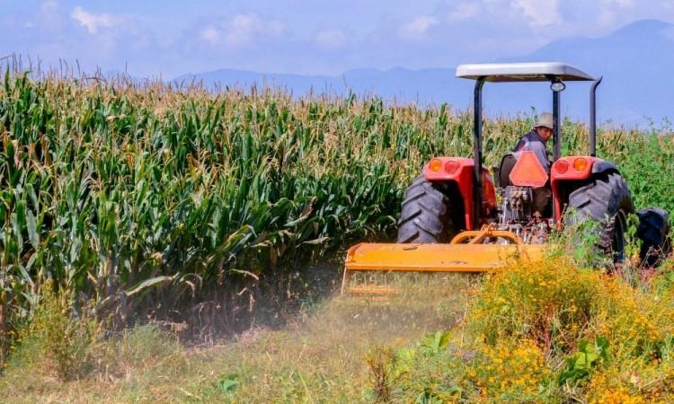 México estima aumento en producción de maíz