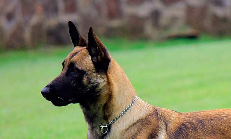 Ayuntamiento compra 13 perros policía por un millón 400