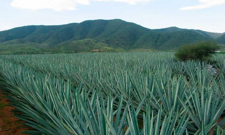 Tequilera Don Ramón instalará la destiladora más grande de América en Tepeaca