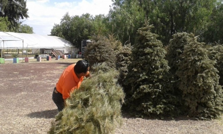 Busca OOSL reciclar 5 mil árboles de navidad utilizados para adornar casas de poblanos