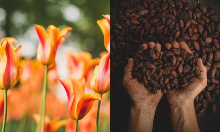 Regala tulipanes y chocolates poblanos