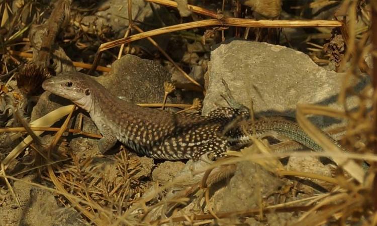 Registra Ayuntamiento avistamientos de anfibios y réptiles en Parque Cerro de Amalucan