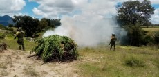 Descubren plantío de mariguana en Acajete