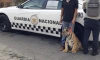 Localizan a tigre de bengala buscado por varios días en Acatzingo